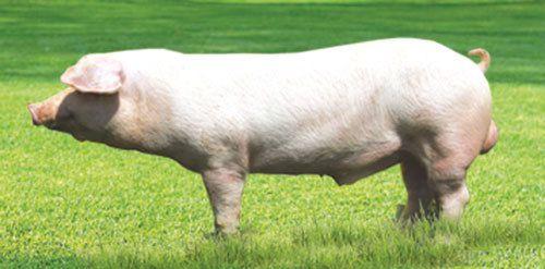 Тернопільський фермер помер від укусу свині