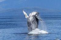 Зграя косаток напала на кита з дитинчам і отримала несподівану відсіч