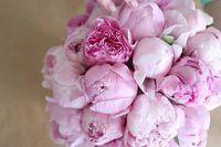 Піоновая лихоманка: 10 цікавих фактів про найкрасивіші квіти