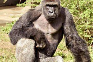 У мережі набирає популярності відео танцю горили в невеликому басейні (Відео). Грайлива горила Зола підкорила Мережу своїми запальними танцями в басейні.