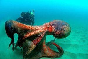 У Тихому океані знайшли новий вид гігантських восьминогів. Гігантські восьминоги Enteroctopus dofleini, що мешкають у північних районах Тихого океану, не найбільші з таких видів на Землі