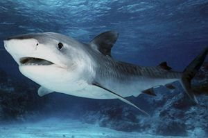 У Тихому океані горбатий кит врятував дайвера від акули (відео). Горбатий кит захистив нирців від тигрової акули