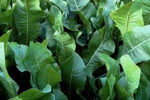 Магія листя хрону: витягають сіль прямо через пори шкіри!. Хрін — багаторічна рослина, яка відноситься до сімейства Капустяних.