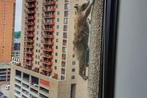 У США мережа вибухнула через єнота, який забрався на хмарочос. У місті Сент-Пол в Міннесоті єнот заліз на дах 23-поверхового будинку.