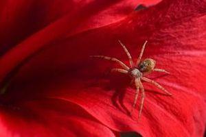 Вчені розповіли, чому не можна вбивати домашніх павуків. Багато вважають павуків небезпечними і страшними, як виявилося, вони дуже корисні для дому, тому вбивати їх не варто.